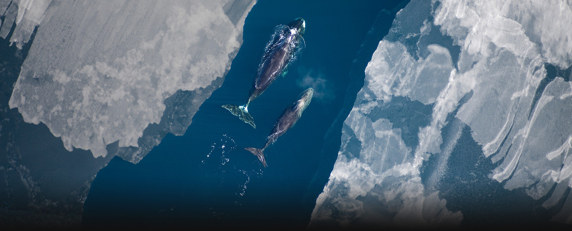 Bowhead whales in the Arctic.