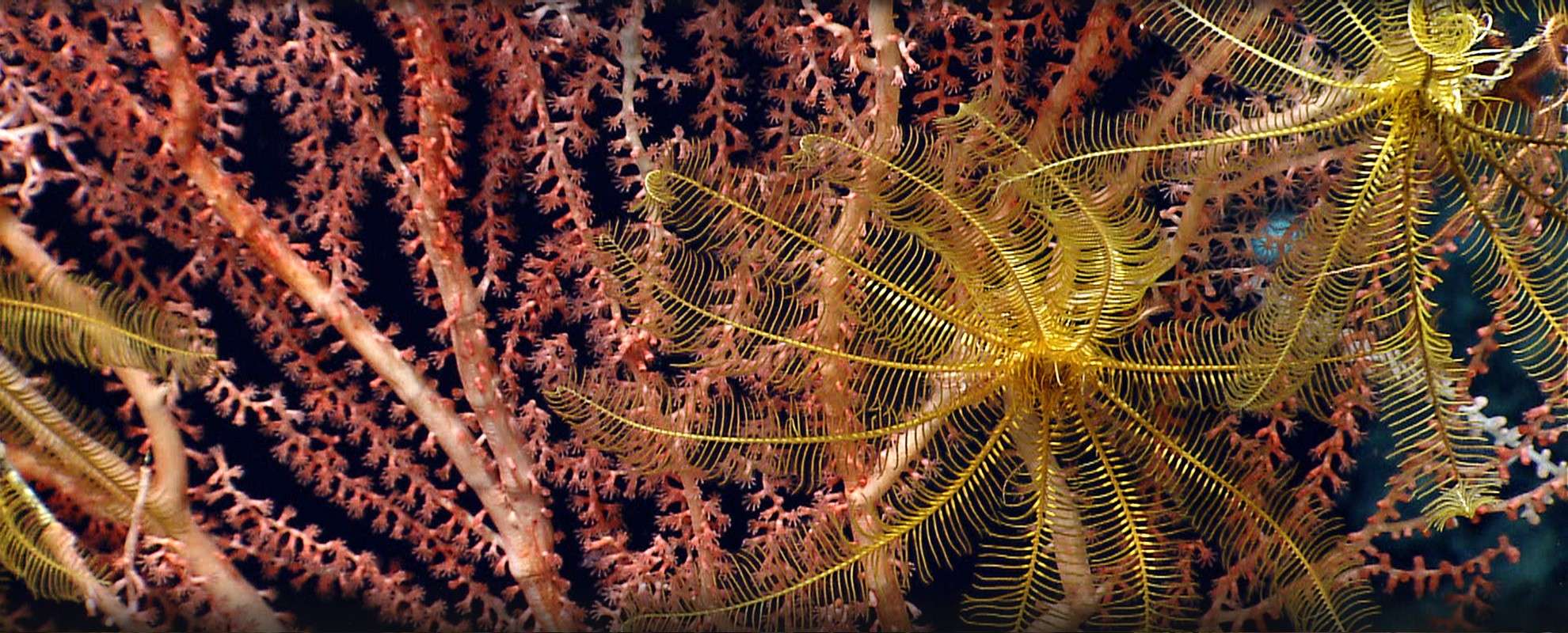 """""""Feather star"""" crinoids on bamboo coral, Mytilus Seamount."""