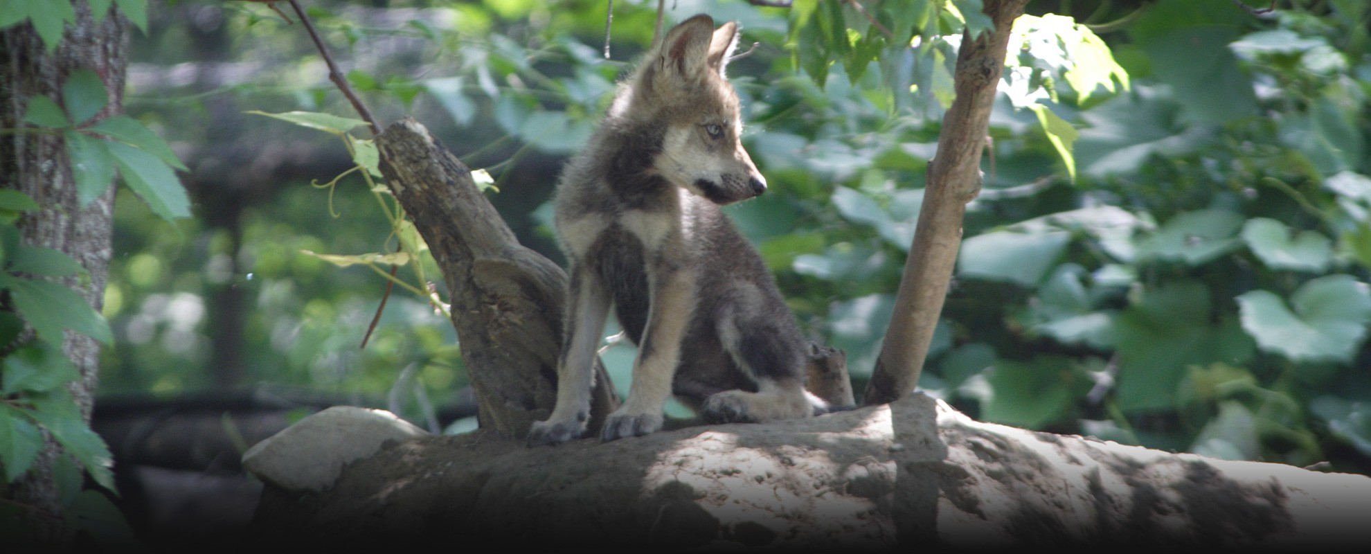 A young Rosa at the Wolf Conservation Center, June 17, 2008.