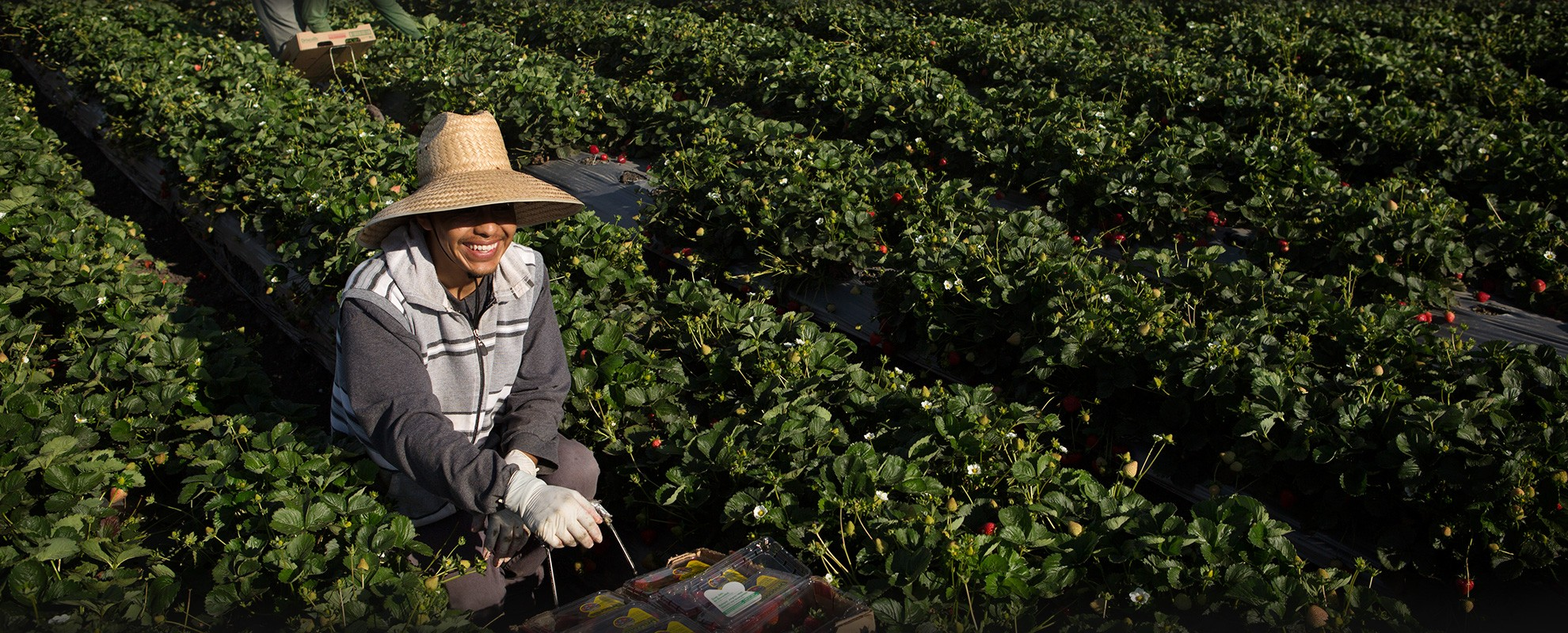 Agricultural workers pick stawberries.