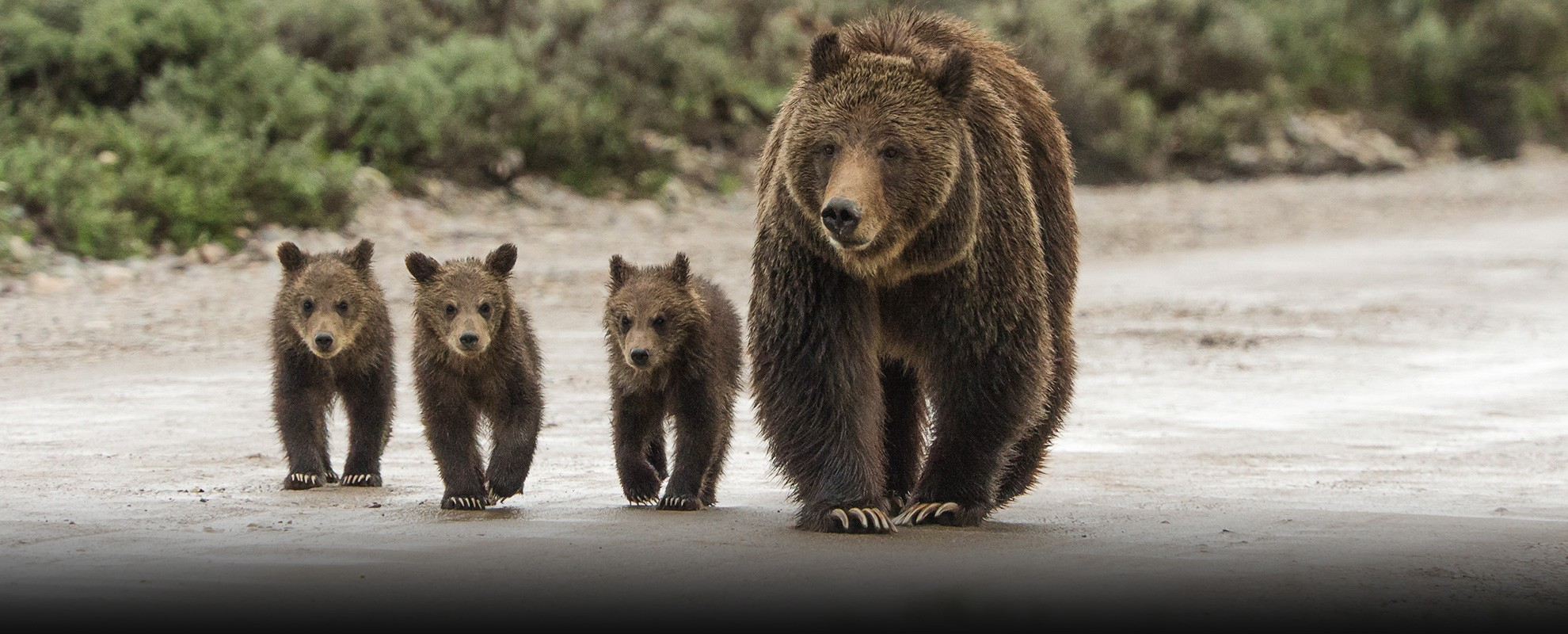 Grizzly 399 and her three cubs walk down a dirt road on May 19, 2013.