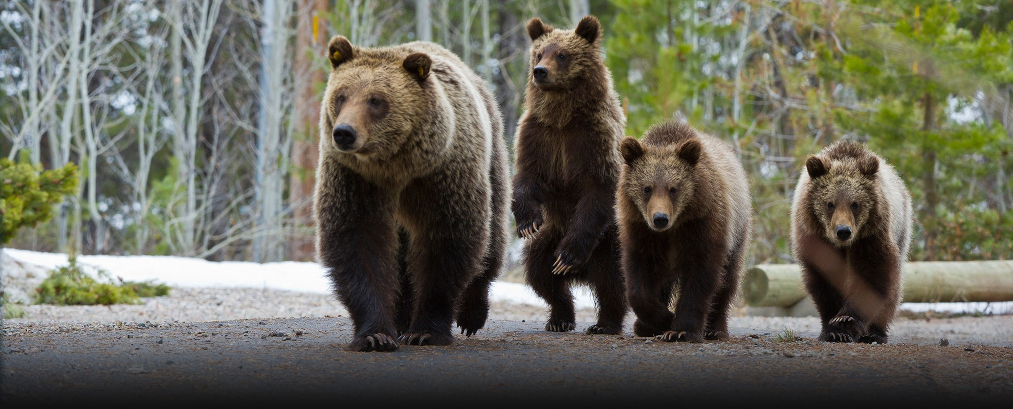Grizzly 610 walks down a park road with her three cubs in springtime.