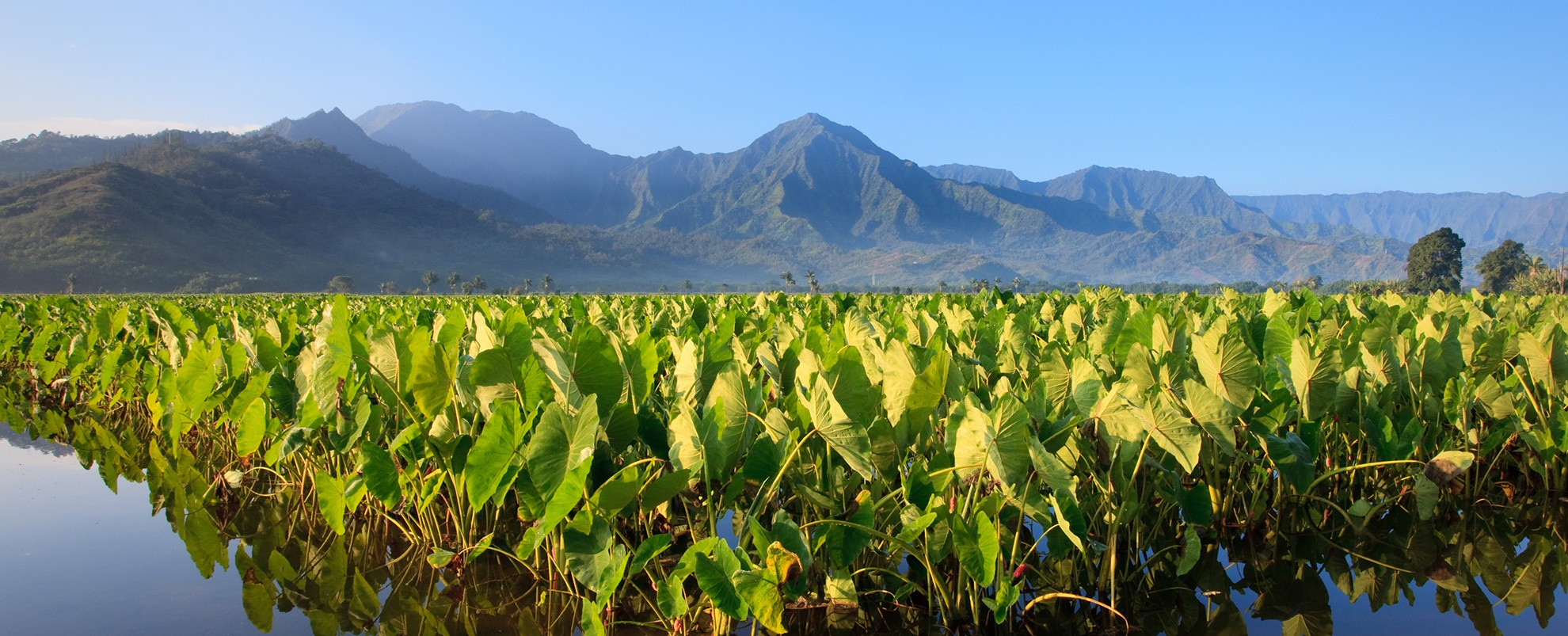 Reflection of Taro plants in Hanalei valley on Kaua'i, with the Na Pali mountains in the background.