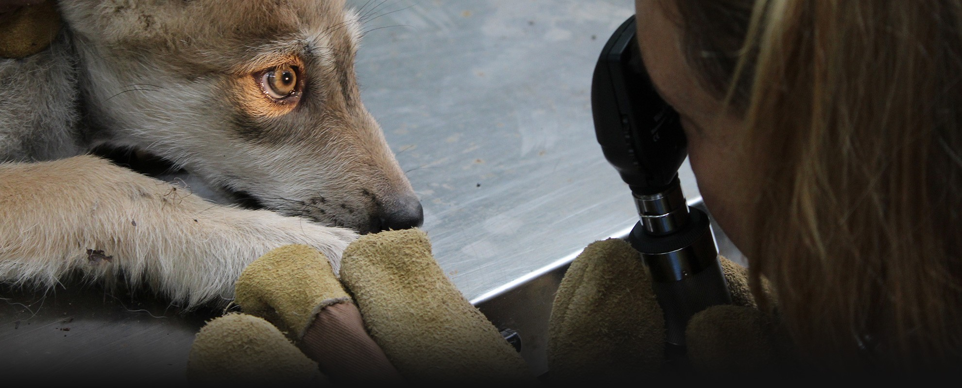 A Mexican gray wolf receives a medical check-up.