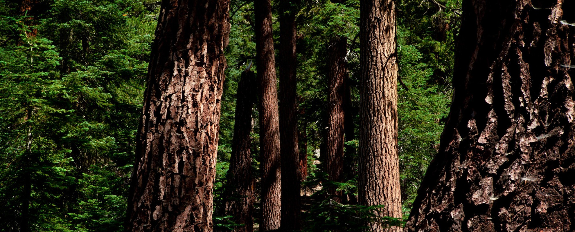 California red firs (Abies magnifica) at Timber Gap (9,511 feet), a 2-mile climb out of the Mineral King valley.
