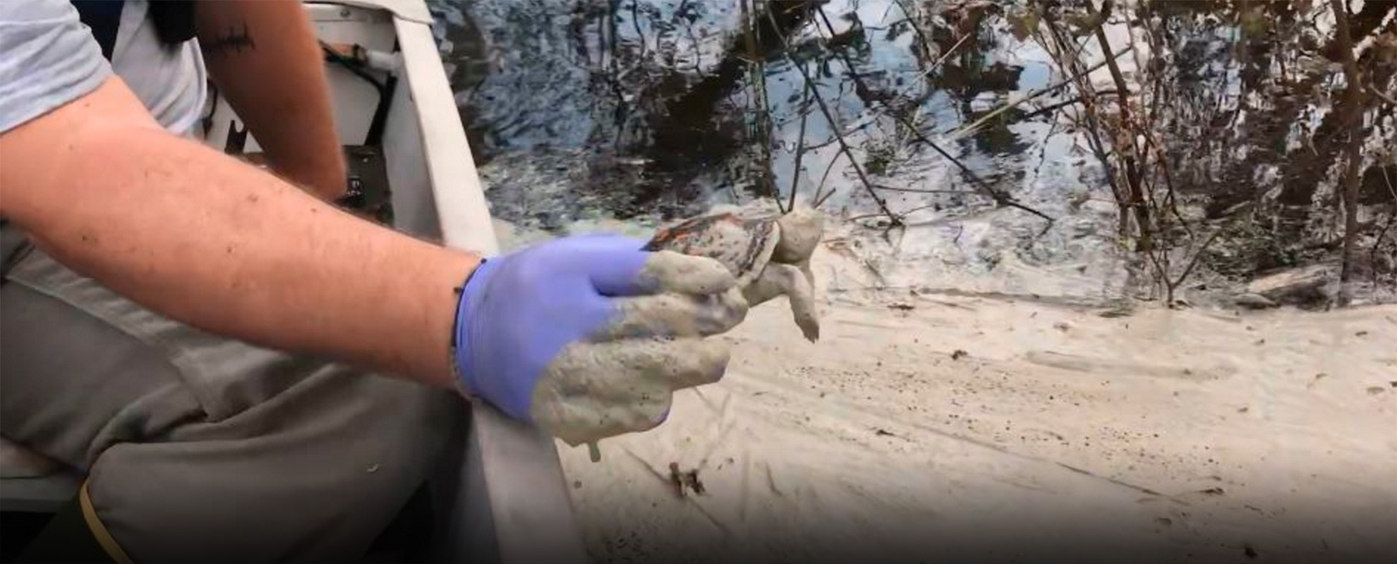 A turtle in the Cape Fear River is smothered in coal ash. Riverkeepers cleaned and released the turtle.