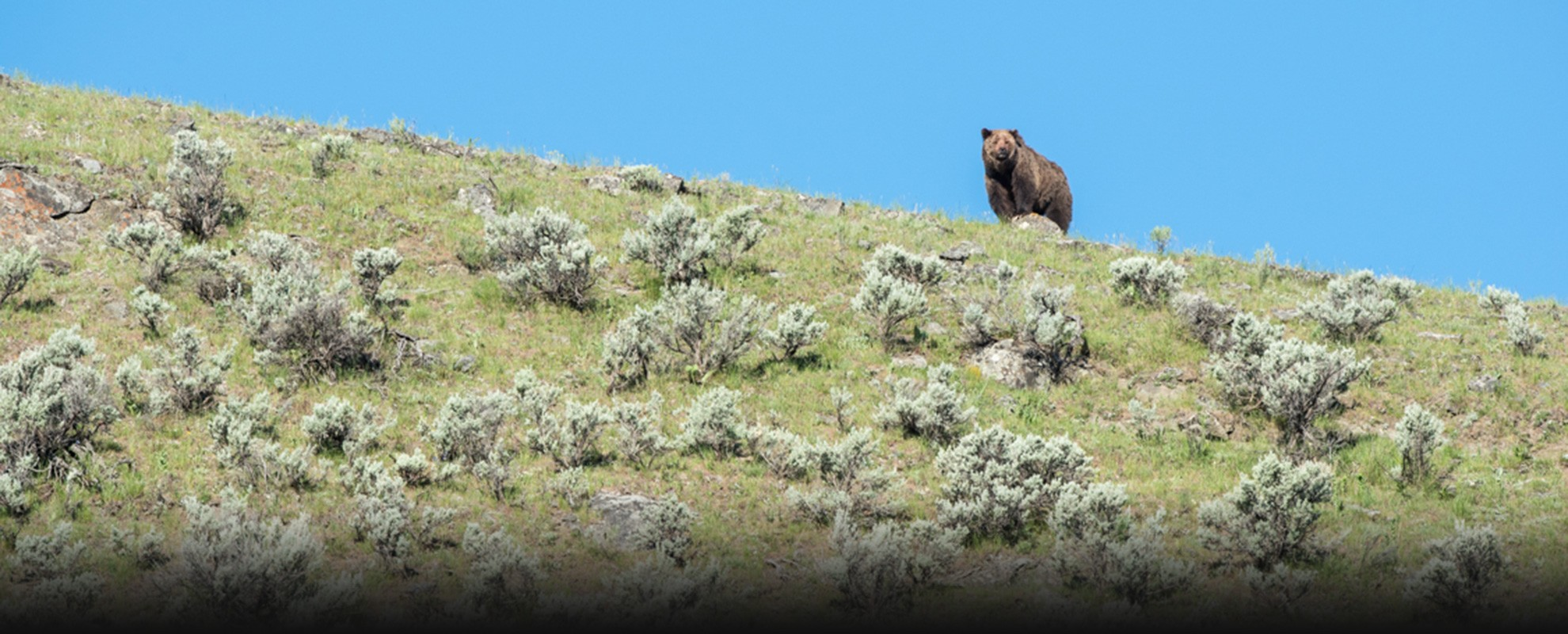 Grizzly bear in Yellowstone National Park.
