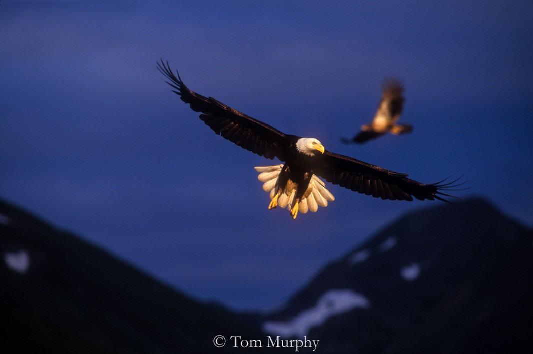 Bald eagles in Yellowstone.