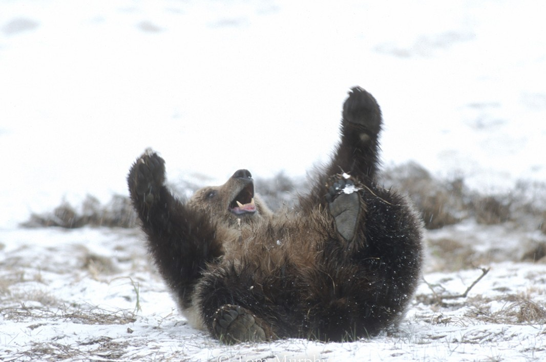 Grizzly bear cub, playing in the snow.