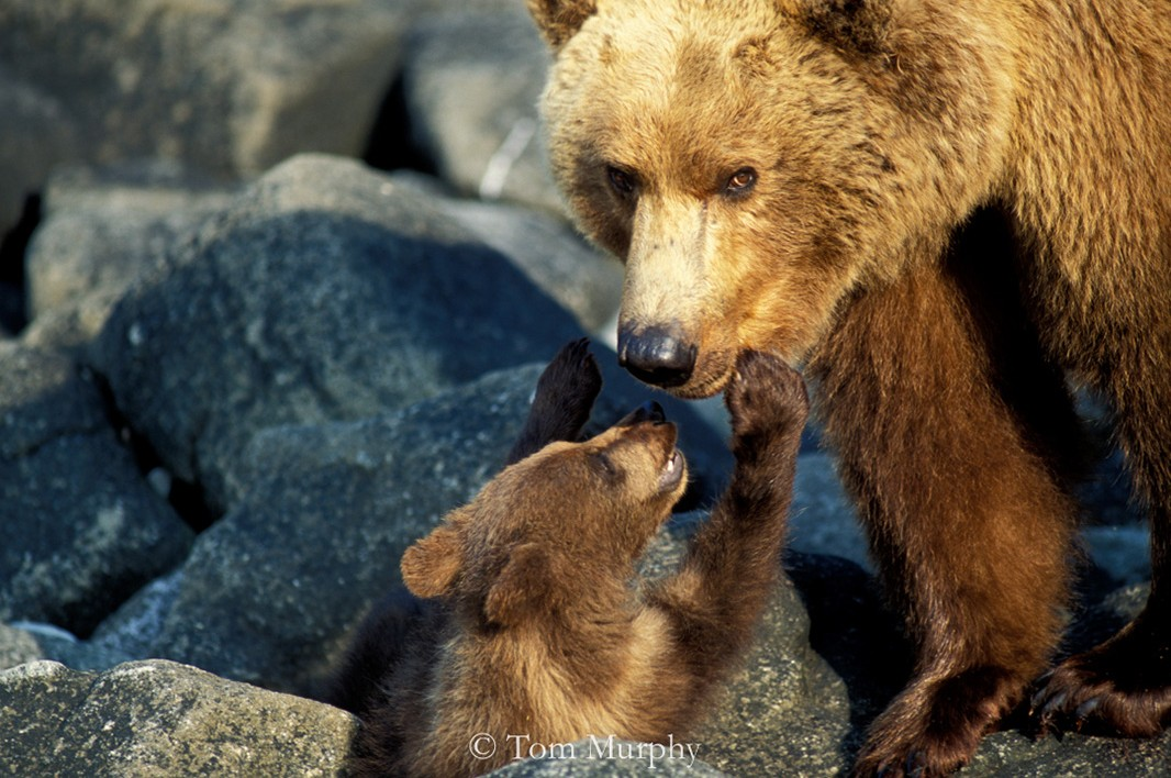 A brown bear cub touches mom's nose at Katmai National Park in Alaska.
