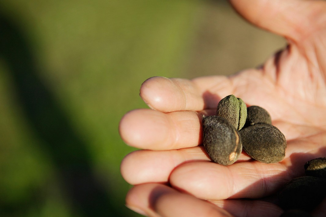 These almonds were grown mere feet from an oil field.