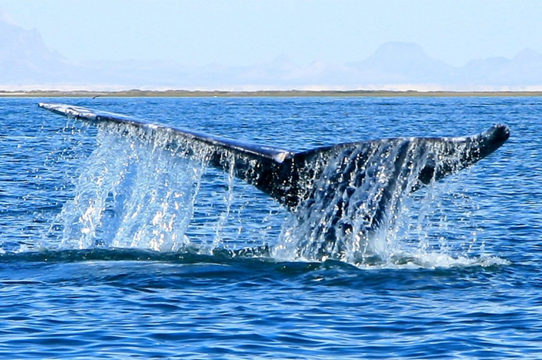 Gray Whale 2