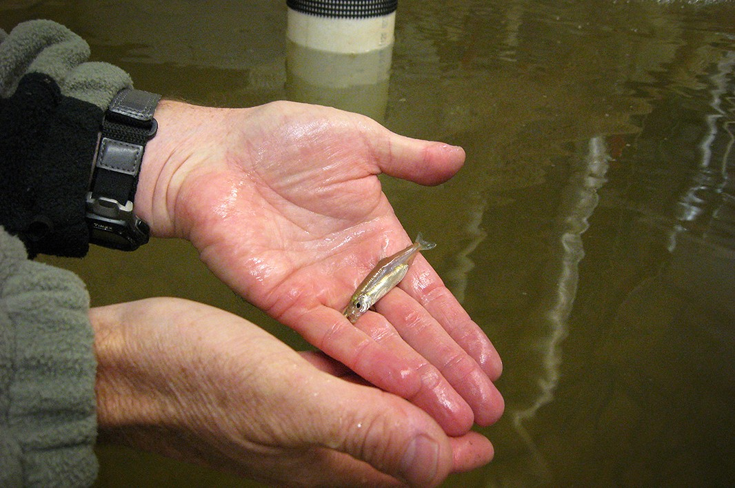 A worker holds a delta smelt at a rearing facility.