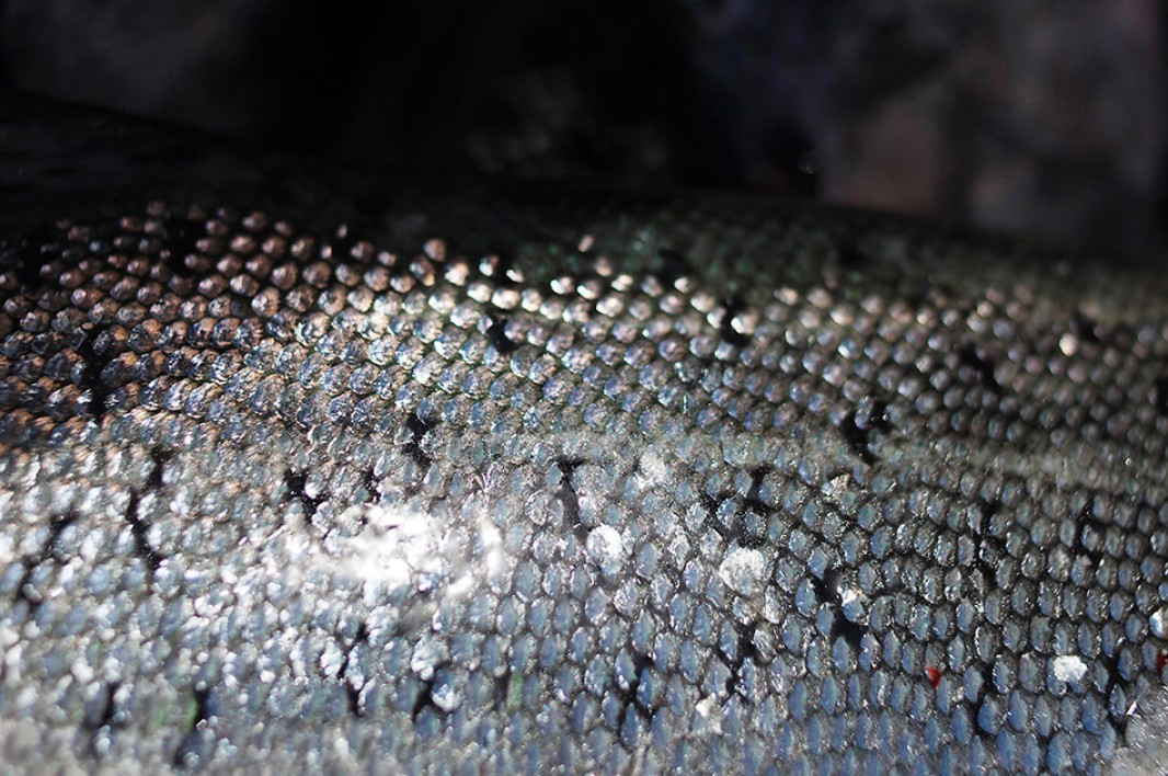 A salmon's skin reflects the afternoon light in Ft. Bragg, CA.