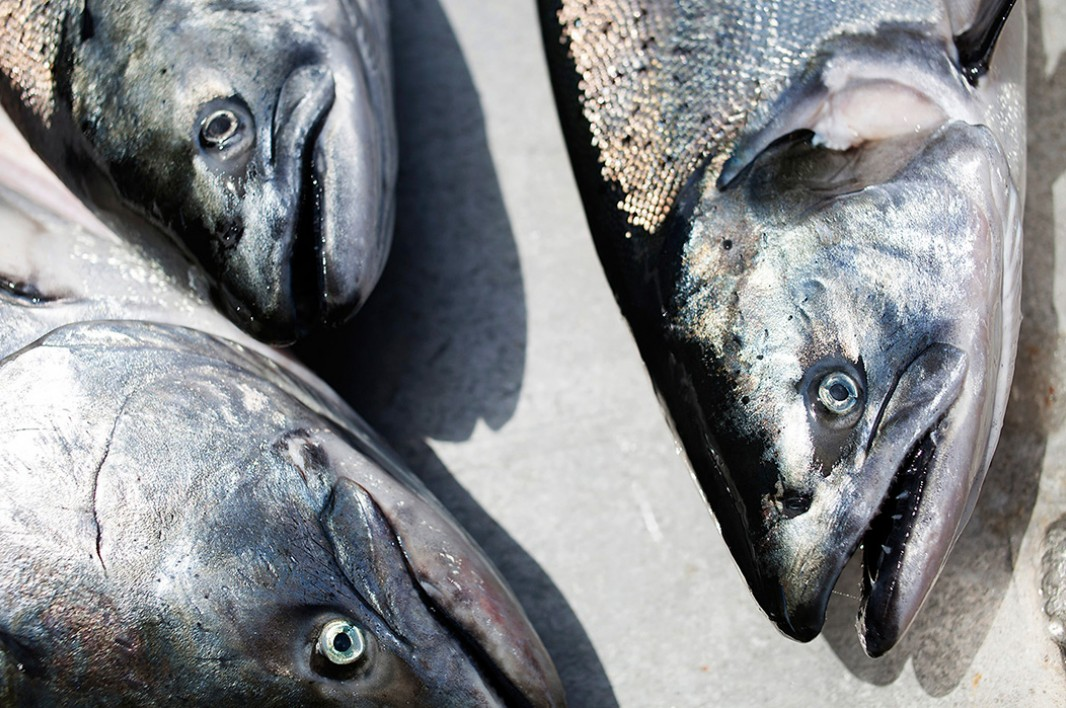 King salmon sit before being weighed on the docks in Ft. Bragg, CA.
