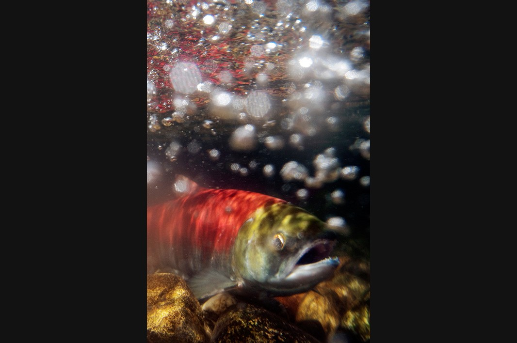 A sockeye salmon makes its way back up a river in the Pacific Northwest to spawn.