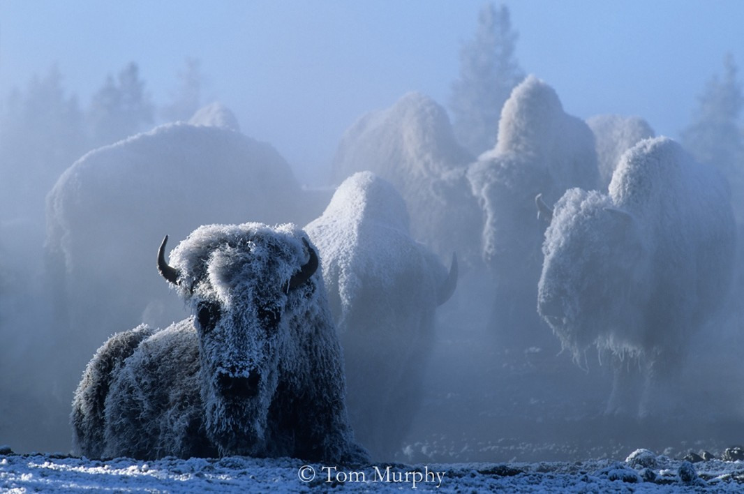 Standing and lying on the relatively warm geothermally heated ground, these bison were coping with one of Yellowstone's typical February mornings.