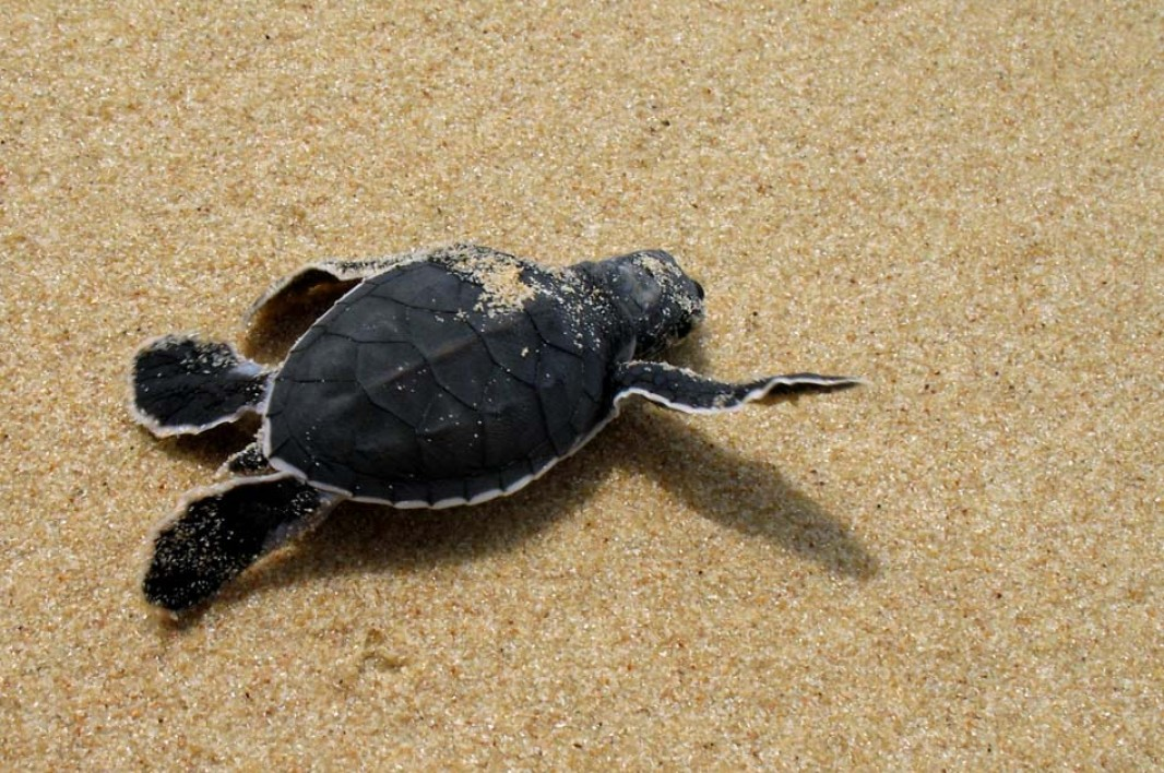 Newly Hatched Turtle