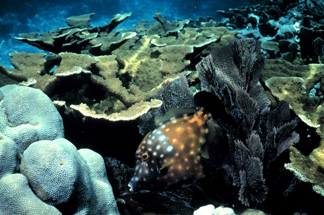 Elkhorn coral reef, with white spotted tilefish.