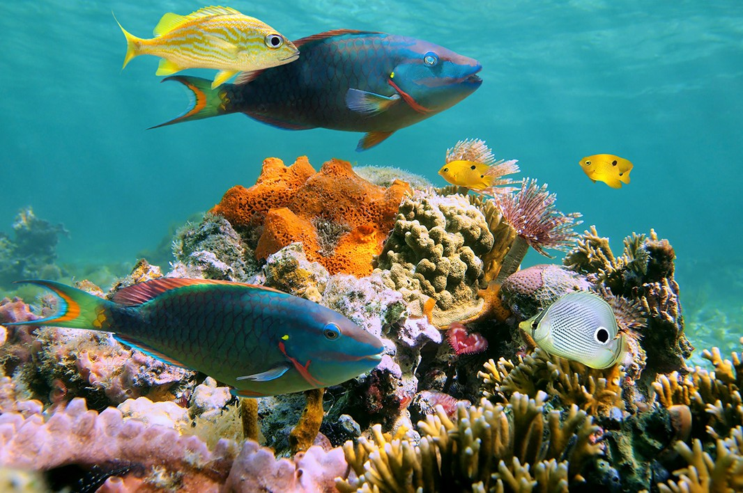 Protecting endangered caribbean corals earthjustice for Caribbean reef fish