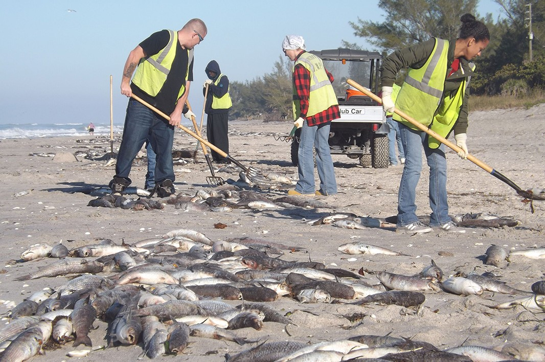 Sarasota County work crews remove hundreds of dead fish littering the public Blind Pass Beach on Manasota Key on January 3, 2013.