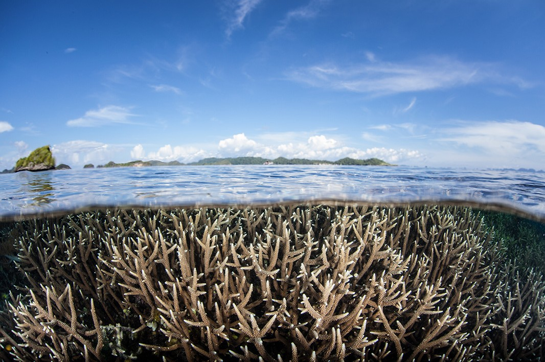 Staghorn coral.