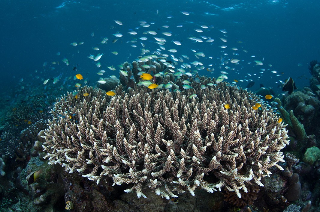 Staghorn coral in a healthy reef.