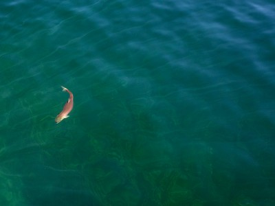 A sockeye salmon (Oncorhynchus nerka) in Redfish Lake, Sawtooth National Recreation Area, Idaho.