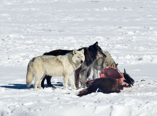 wolves eating prey