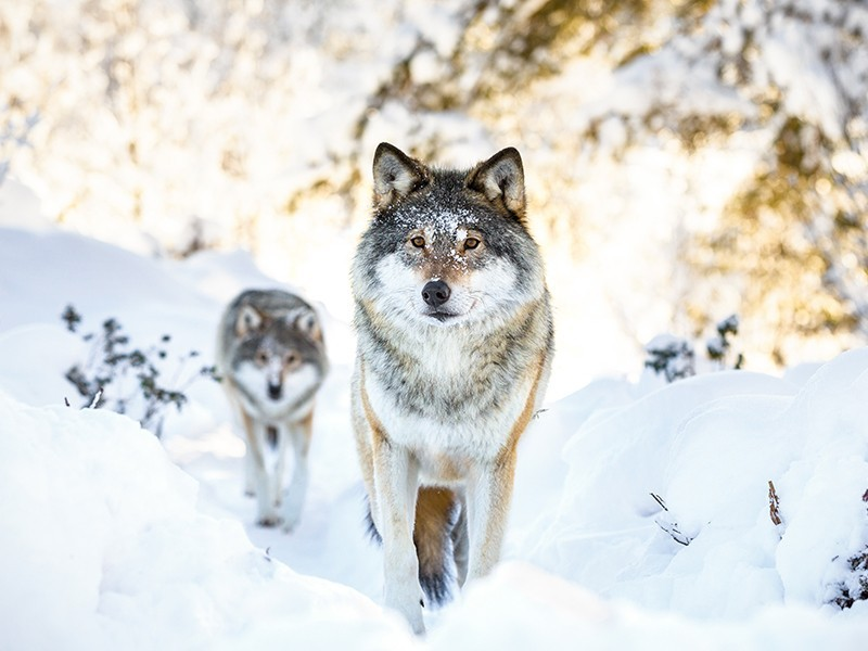 Two wolves in the winter forest.