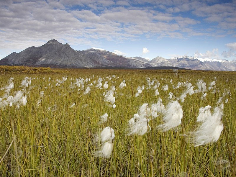 A field in the Arctic Refuge