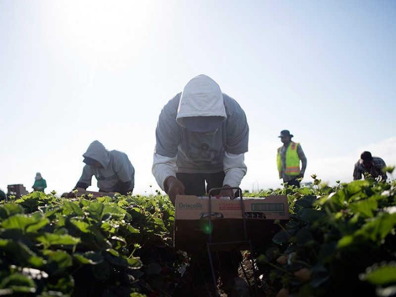 Agricultural workers harvest strawberries in Salinas, Calif.
