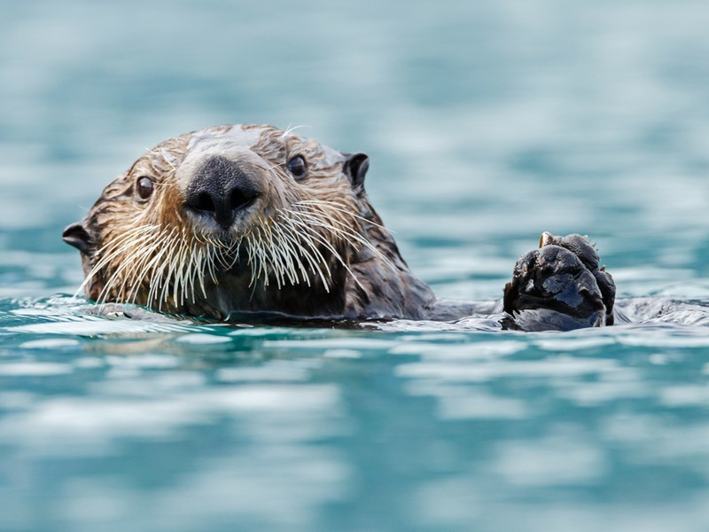 A California sea otter.