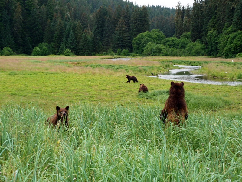 Bears in the Kootznoowoo Wilderness, Tongass National Forest.
