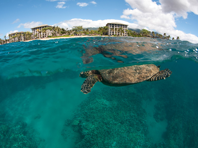 A turtle swims offshore of Kahekili Beach Park on Maui, where a wastewater facility is discharging sewage into the Pacific Ocean.