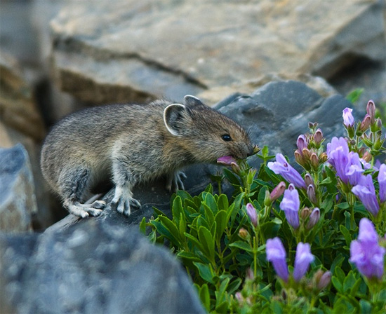 Day 92, Pikas. Copyright Chris Peterson.