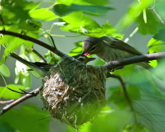 Day 58, Meet the vireos. Copyright Chris Peterson.