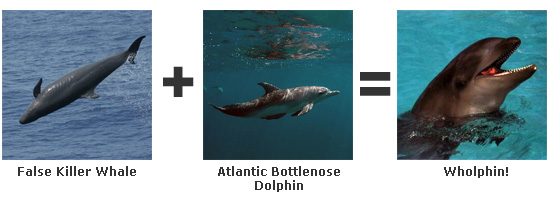 False Killer Whale + Atlantic Bottlenose Dolphin = Wholphin