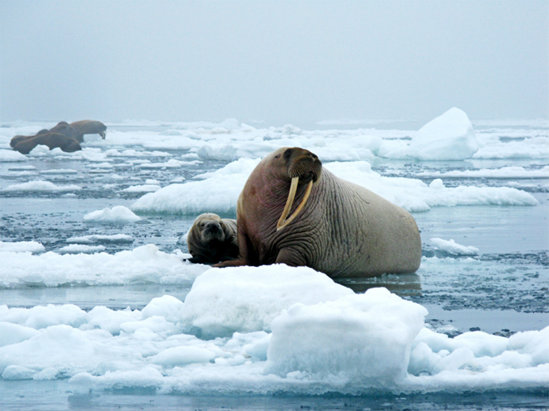 A walrus and pup on an ice floe in the Chukchi Sea.