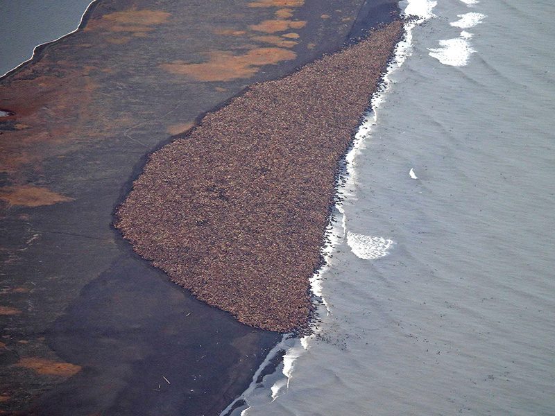 Approximately 35,000 walruses gather on the northwest coast of Alaska, near Point Lay, on Sept. 27, 2014.