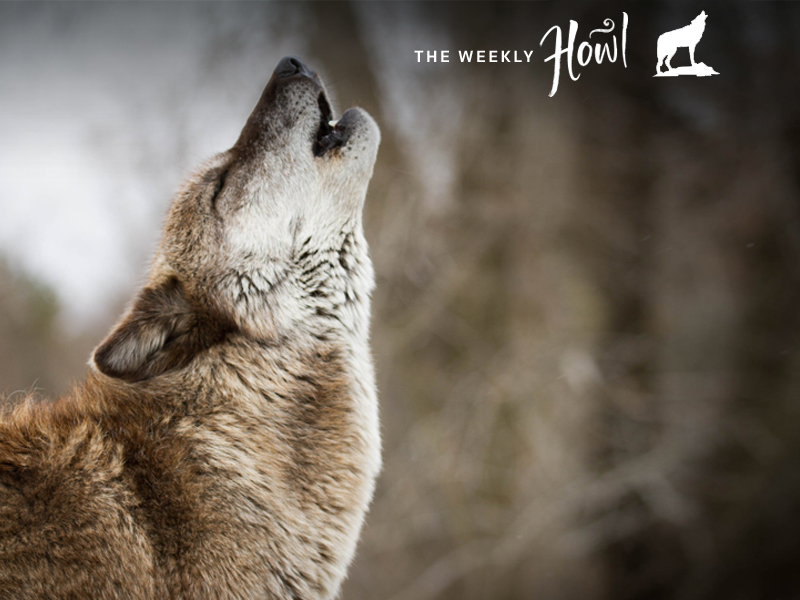 Why Do Wolves Howl Decoding The Language Of Lupines Earthjustice