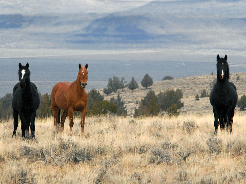 Wild horses in the Malheur Wildlife Refuge.