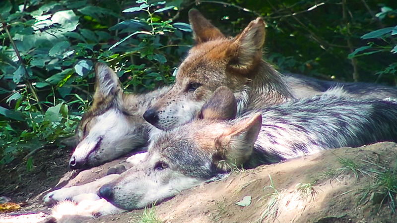 Trumpet and her parents in their wooded enclosure