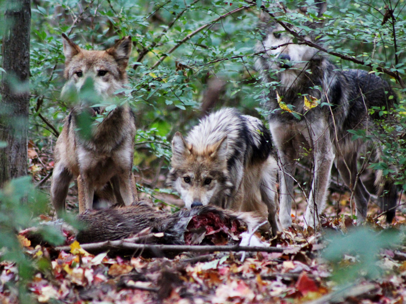 The wolf family feeds on a deer carcass.