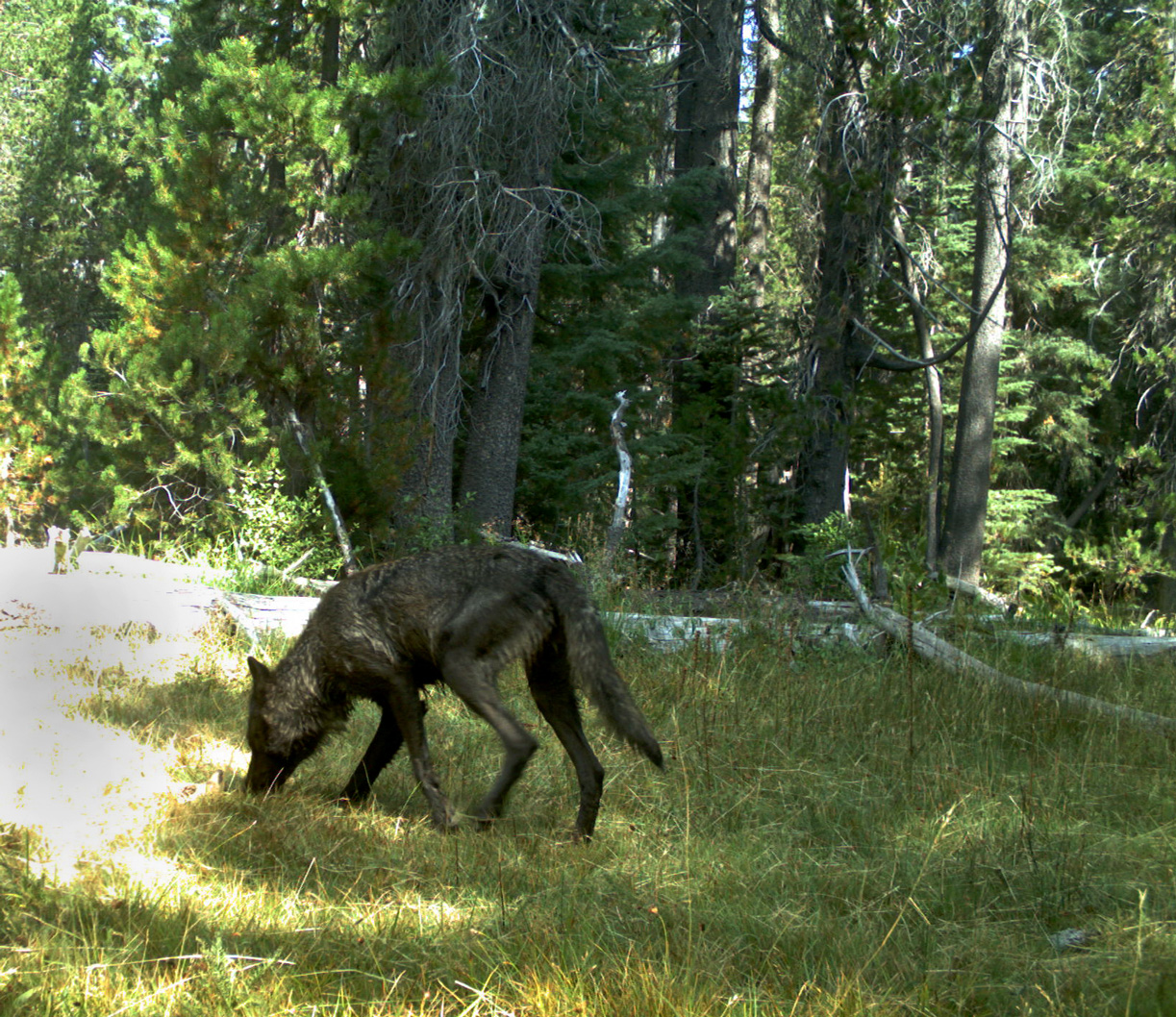 A member of the Shasta Pack caught on a trail camera.