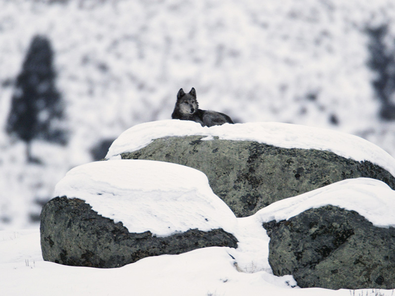 A gray wolf on glacial erratic at Yellowstone's Little America Flats, February 2, 2004.