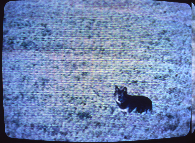 A 'wolf-like' animal sighted in Hayden Valley, August 7/8, 1992.