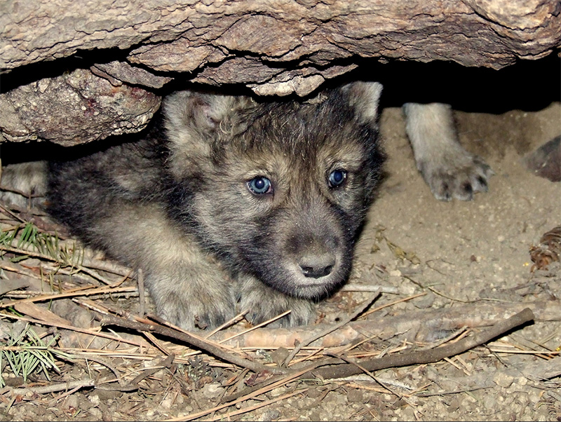 Wolf pups emerge from a den, December 2009.