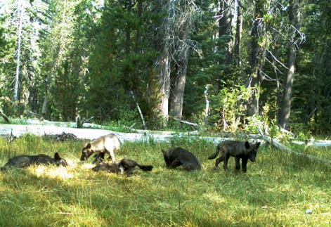 Wolf pups of the newly-established Shasta Pack in California.