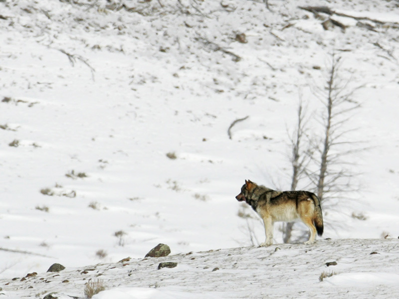 A wolf near Blacktail Pond in Yellowstone National Park, February 16, 2006.